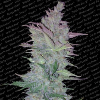 http://grubylolek.pl/281-thickbox_atch/nasiona-marihuany-vertigo.jpg