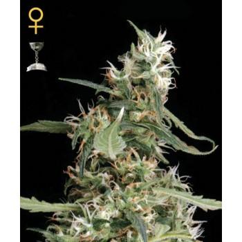 http://grubylolek.pl/286-thickbox_atch/nasiona-marihuany-arjan-s-ultra-haze-1.jpg