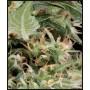 nasiona marihuany Arjan's Ultra Haze 1 ®