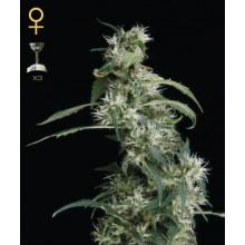 nasiona marihuany Arjan's Ultra Haze 2 ®