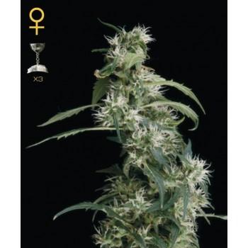 http://grubylolek.pl/288-thickbox_atch/nasiona-marihuany-arjan-s-ultra-haze-2.jpg