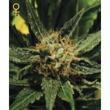 nasiona marihuany Diamond Girl