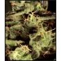 nasiona marihuany Exodus Cheese