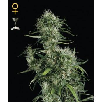 http://grubylolek.pl/317-thickbox_atch/nasiona-marihuany-neville-s-haze.jpg