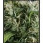 nasiona marihuany Neville's Haze