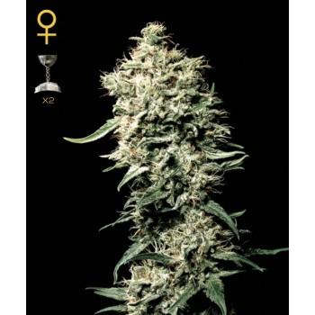 http://grubylolek.pl/330-thickbox_atch/nasiona-marihuany-white-rhino.jpg