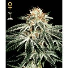 nasiona marihuany White Widow