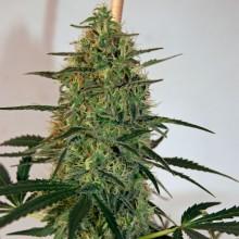 nasiona marihuany Malana Bomb Auto