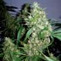 nasiona marihuany Critical Rapido Auto