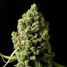 nasiona marihuany Critical Kush