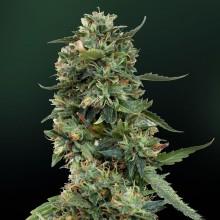 nasiona marihuany LSD