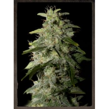 http://grubylolek.pl/445-thickbox_atch/nasiona-marihuany-money-maker.jpg