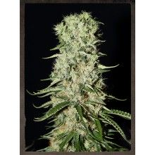 nasiona marihuany Damnesia