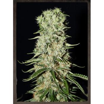 http://grubylolek.pl/447-thickbox_atch/nasiona-marihuany-damnesia.jpg