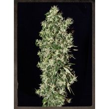 nasiona marihuany Big Tooth