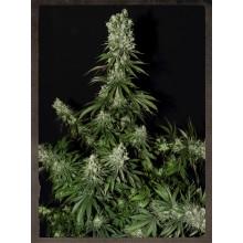 nasiona marihuany White Strawberry Skunk