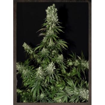 http://grubylolek.pl/453-thickbox_atch/nasiona-marihuany-white-strawberry-skunk.jpg