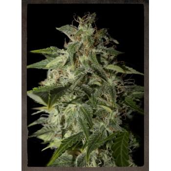 http://grubylolek.pl/455-thickbox_atch/nasiona-marihuany-afgooey.jpg