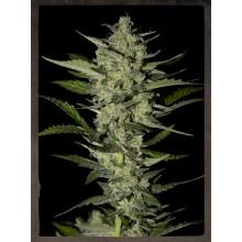 nasiona marihuany Flowerbomb Kush