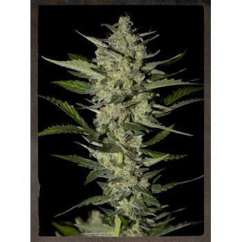 http://grubylolek.pl/460-thickbox_atch/nasiona-marihuany-flowerbomb-kush.jpg