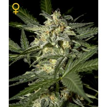 nasiona cannabis White Widow Auto