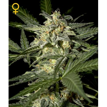 http://grubylolek.pl/467-thickbox_atch/nasiona-marihuany-white-widow-auto.jpg