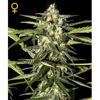 http://grubylolek.pl/468-thickbox_atch/nasiona-marihuany-jack-herer-auto.jpg