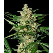 ziarna marihuany Damnesia Auto