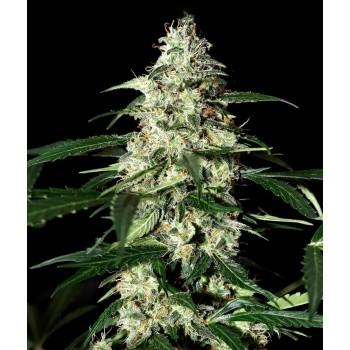 http://grubylolek.pl/471-thickbox_atch/nasiona-marihuany-skunk-auto.jpg