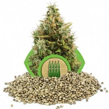 http://grubylolek.pl/478-thickbox_atch/nasiona-marihuany-ak-auto-hurt.jpg