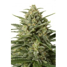 hurt White Widow XXL Auto 100 szt.