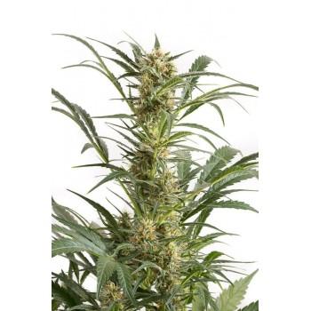 http://grubylolek.pl/482-thickbox_atch/nasiona-marihuany-amnesia-xxl-auto.jpg