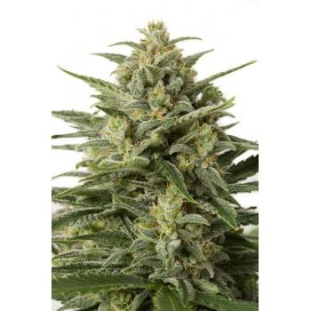 http://grubylolek.pl/483-thickbox_atch/nasiona-marihuany-white-widow-xxl-auto.jpg