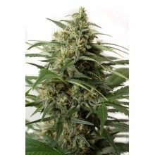 nasiona marihuany Moby Dick XXL Auto