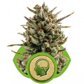 http://grubylolek.pl/545-thickbox_atch/nasiona-marihuany-amnesia-haze-auto.jpg