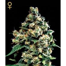 nasiona marihuany Jack Herer