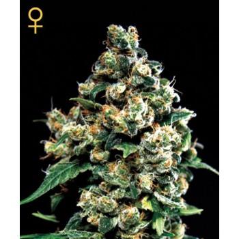 http://grubylolek.pl/64-thickbox_atch/nasiona-marihuany-jack-herer.jpg