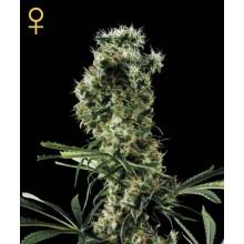 nasiona marihuany  Arjan's Haze 2 ®