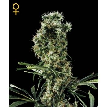 http://grubylolek.pl/72-thickbox_atch/nasiona-marihuany-arjan-s-haze-2.jpg