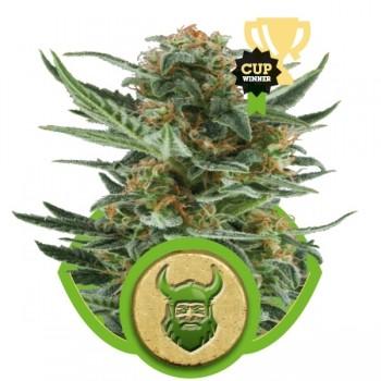 http://grubylolek.pl/729-thickbox_atch/nasiona-marihuany-royal-dwarf.jpg
