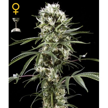 http://grubylolek.pl/735-thickbox_atch/nasiona-marihuany-super-lemon-haze.jpg