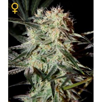 http://grubylolek.pl/742-thickbox_atch/nasiona-marihuany-arjan-s-strawberry-haze.jpg