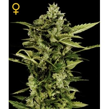 http://grubylolek.pl/746-thickbox_atch/nasiona-marihuany-auto-bomb.jpg