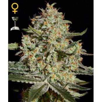 http://grubylolek.pl/748-thickbox_atch/nasiona-marihuany-big-bang.jpg