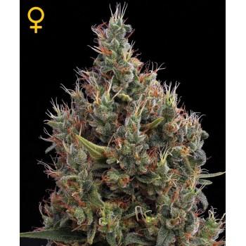 http://grubylolek.pl/752-thickbox_atch/nasiona-marihuany-big-bang-auto.jpg