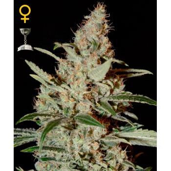 http://grubylolek.pl/760-thickbox_atch/nasiona-marihuany-chemdog.jpg