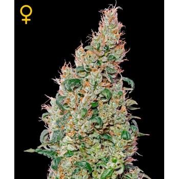 http://grubylolek.pl/764-thickbox_atch/nasiona-marihuany-green-o-matic.jpg