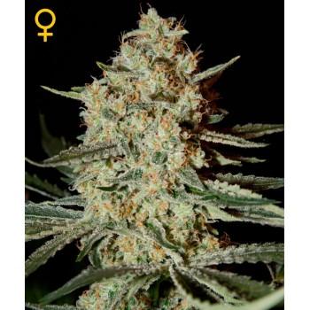 http://grubylolek.pl/766-thickbox_atch/nasiona-marihuany-himalaya-gold.jpg