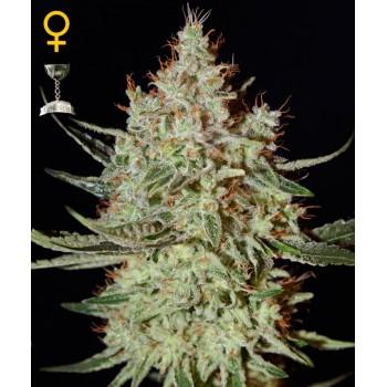 http://grubylolek.pl/768-thickbox_atch/nasiona-marihuany-k-train.jpg