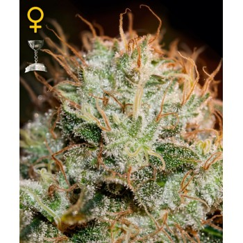 http://grubylolek.pl/770-thickbox_atch/nasiona-marihuany-kaia-kush.jpg